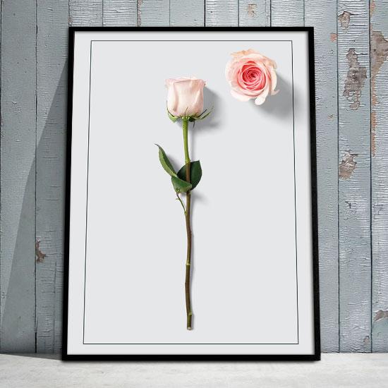 Plakat z różyczką