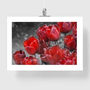 plakat czerwone tulipany na ścianę